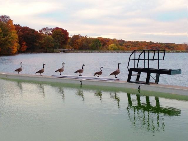Pool Geese